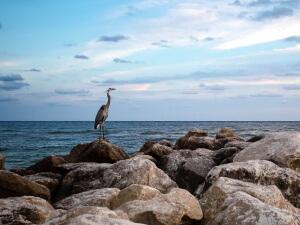 wildlife-photography-Blue-Heron-216075-18178-orange beach